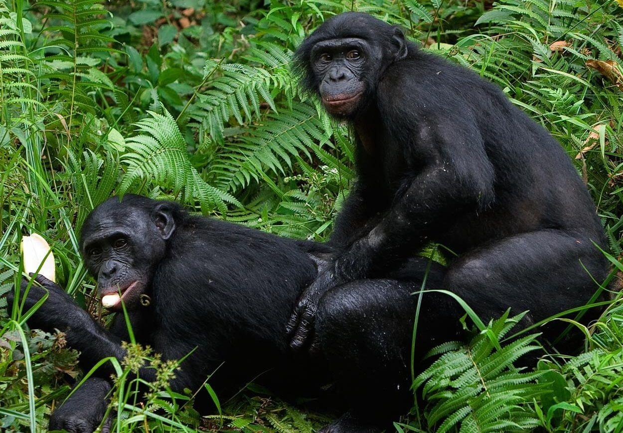 chimpanzees sex
