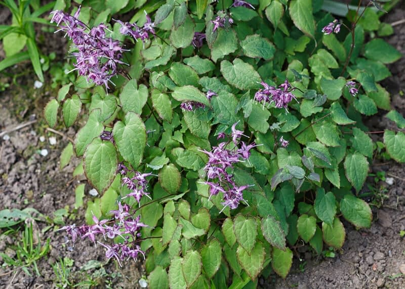 horny goat weed has been used for more than 3000 years