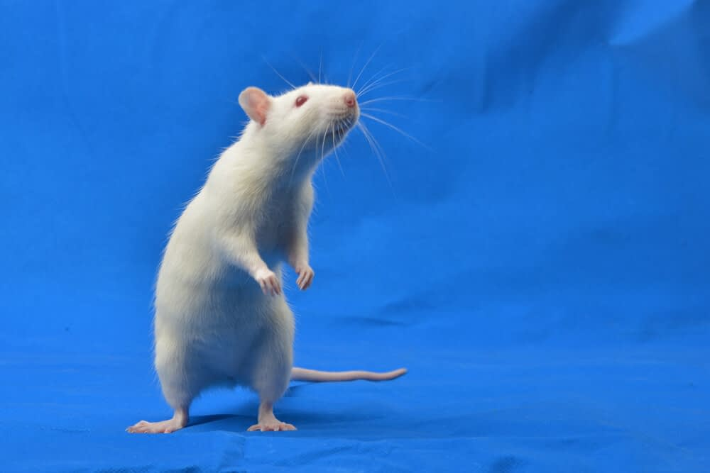 lab experiment on rats testosterone and vitamin d