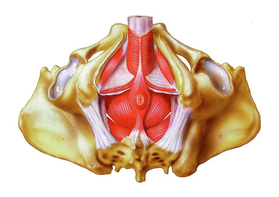 pelvic floor male