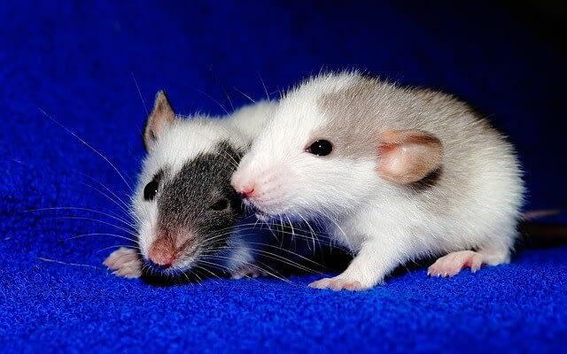 rats orgasm experiment