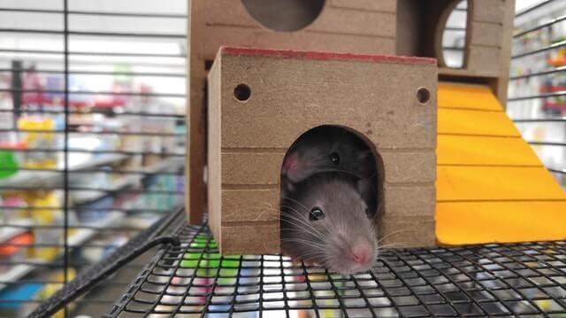 rats treated with icariin