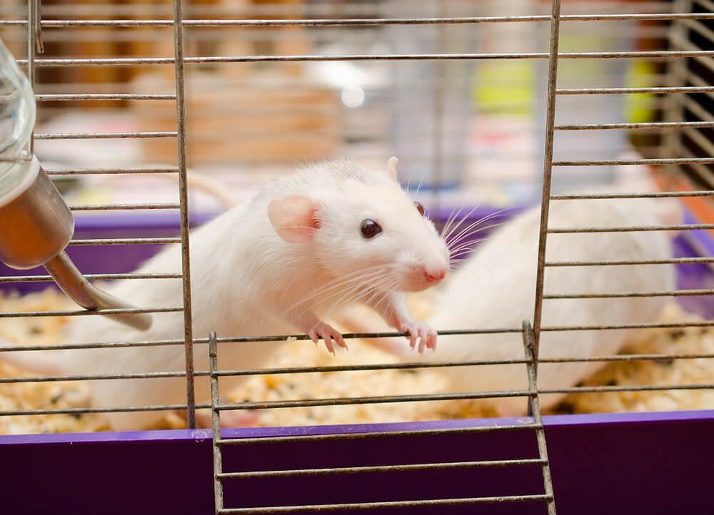 sleep experiment on rats