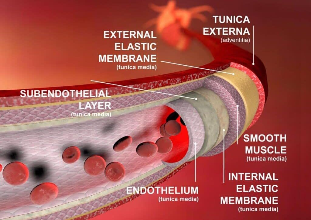 smooth muscles relax to provide bloodlfow e1592326686529