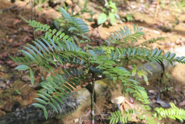 tongkat ali eurycoma longifolia