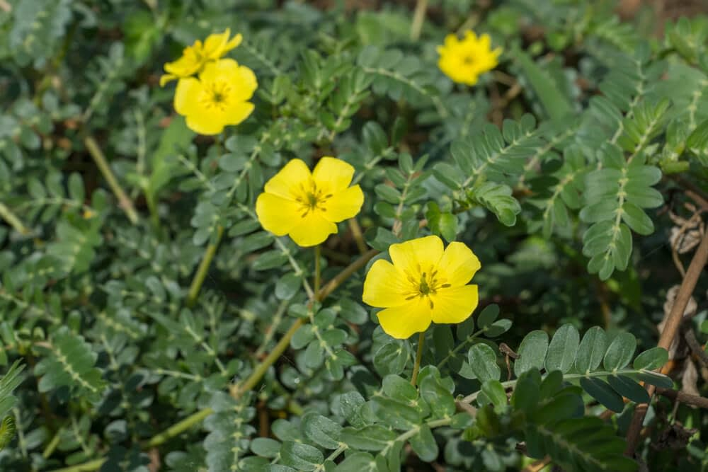 tribulus terrestris can increase nitric oxide production