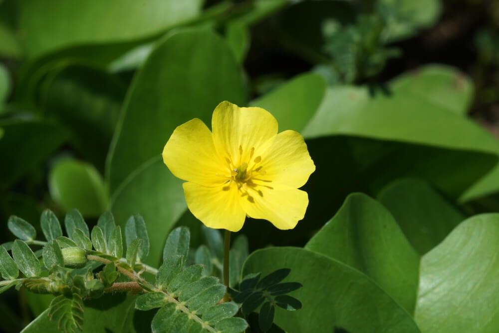tribulus terrestris flower and leaves