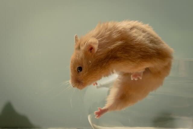 tribulus terrestris improves erectile function in rats