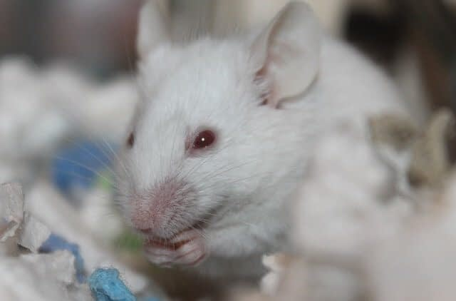 zinc effect on sexual competence of male rats